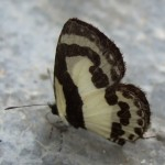 Nog nooit zoveel vlinders in het wild gezien