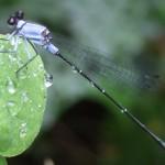 Libelle, veel insecten in Khao Yai