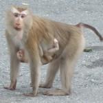 En een apen moedertje