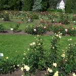 heel veel rozen in de botanische tuin