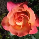roos in de botanische tuin