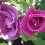 rozen in de botanische tuin
