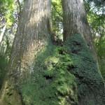 Wandelpad met oude ceder bomen